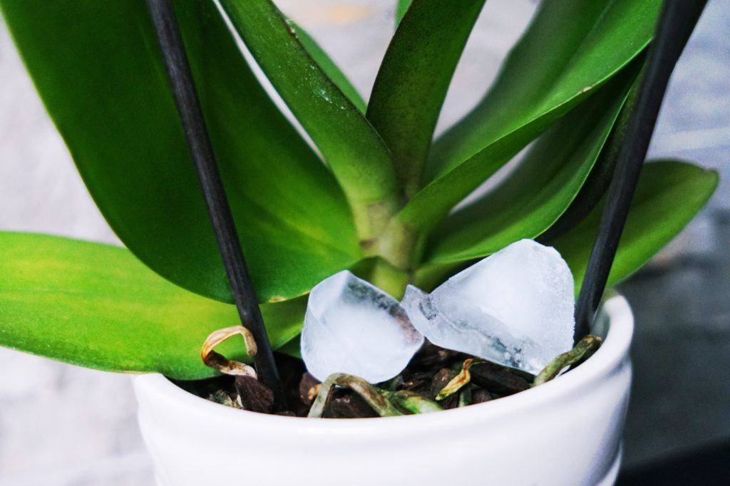 How To: Water Orchids with Ice!